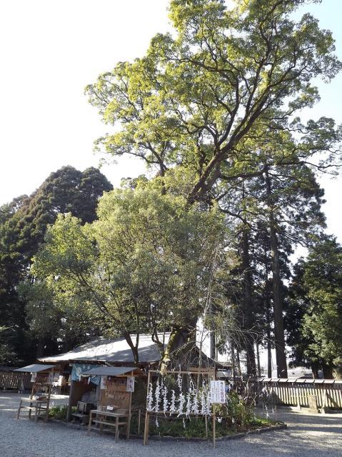 都農神社の楠