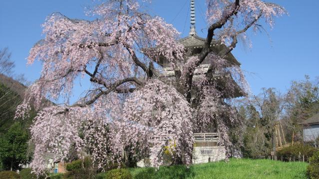 浄専寺しだれ桜