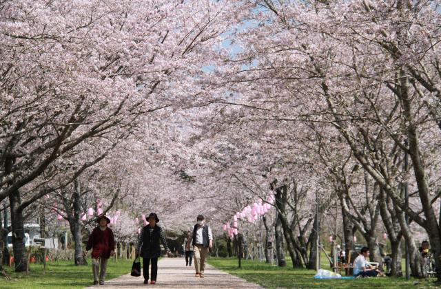 忠元公園の桜並木