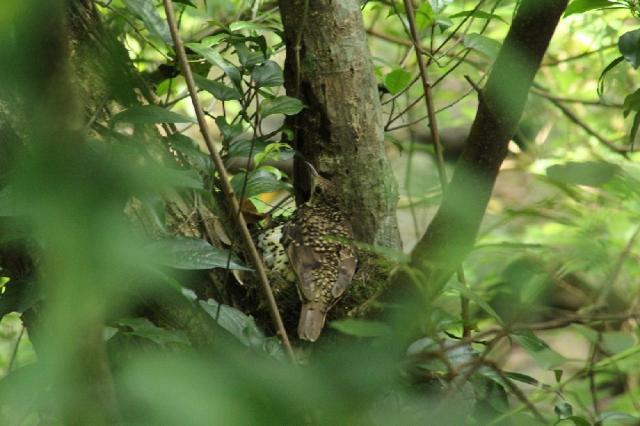 オオトラツグミ(鳥類)