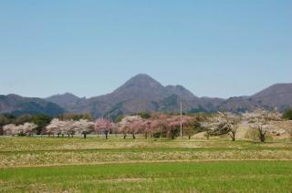 清水野桜並木