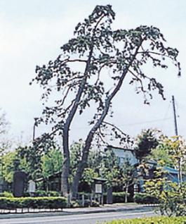 武隅的松樹(二木的松樹)