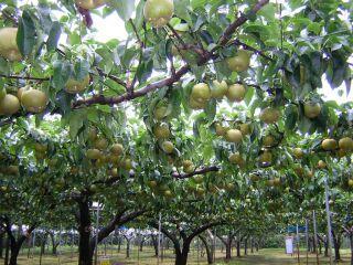 加賀谷果樹園