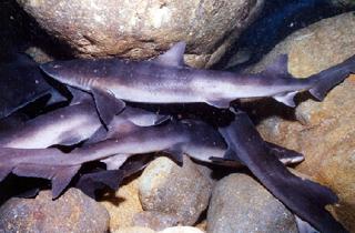 飛島のドチザメ(ねむりザメ)