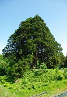 県指定天然記念物松保の大スギ