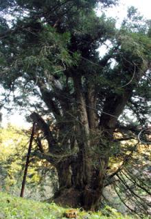 県指定天然記念物神代カヤ