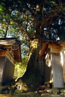町指定天然記念物矢引沢の大スギ