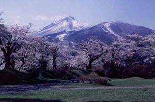 亀ヶ城公園の桜