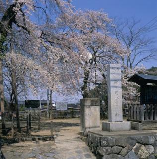向ヶ岡公園の桜