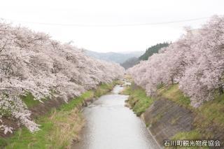 北須川・今出川の桜並木