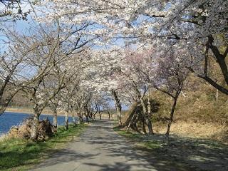 右近清水【桜の回廊】