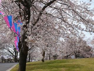 足利公園 桜まつり