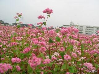 赤花そば祭り