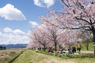 坂戶nissai櫻花節