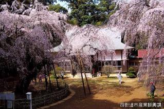 しだれ桜と福星寺