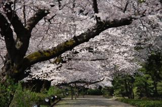 神代植物公園「椿・さくらまつり」