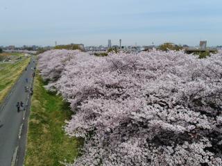 【2021年中止】こまえ桜まつり