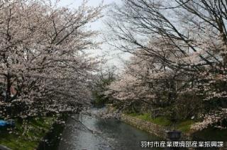 羽村の堰の桜