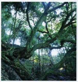 高杉のウラジロガシ