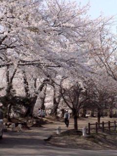 観音山公園の桜