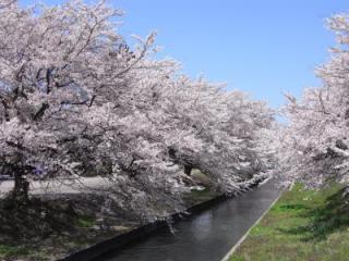 【2021年中止】阿賀野市桜まつり