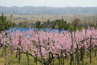 正明寺の桃畑