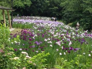 行田公園花しょうぶ