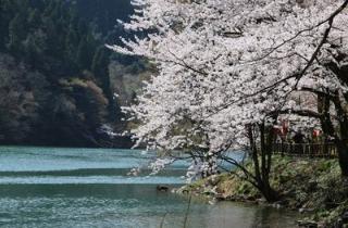 第11回庄川峡桜まつり