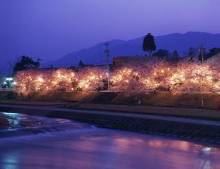 ふくみつ千本桜ライトアップ