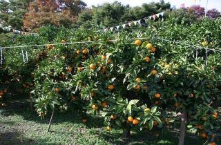 東面海灣橘子園