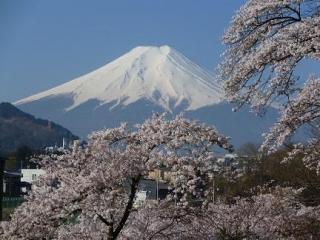 忠魂碑の桜
