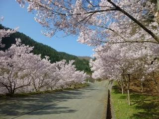 三ッ峠さくら公園の桜