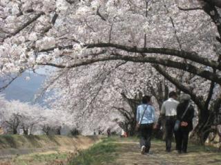 横河川桜まつり