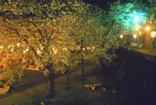 飯山城址桜まつり