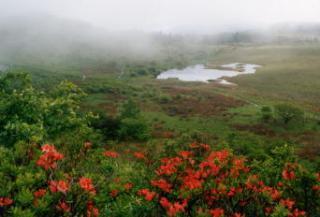 八島湿原のレンゲツツジ
