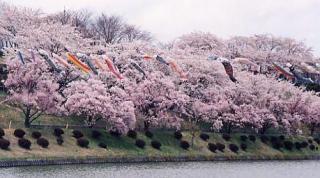 荒神山公園の桜