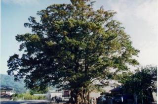 木下のケヤキ