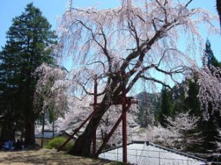林松寺のしだれ桜