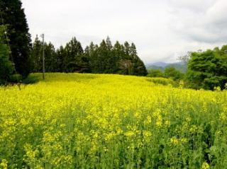 野良舞夏ひまわり倶楽部平石農場の菜の花