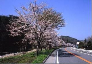 国道153号沿いの桜並木