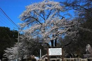 桜基公園エドヒガン桜