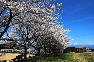 泰阜村総合グラウンド100本桜