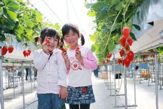 喬木村のイチゴ狩り