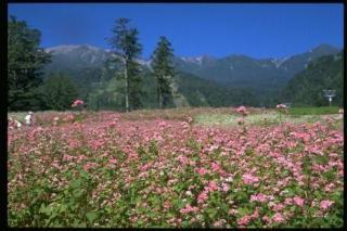御岳ロープウェイの赤そばの花
