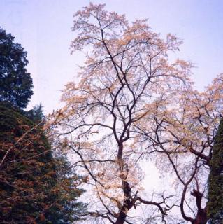 清水寺の枝垂桜