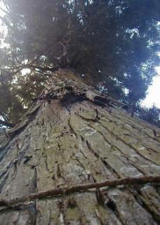 沢之宮の大杉