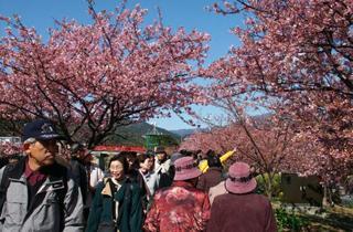 第31回河津桜まつり(今年は中止となりました)