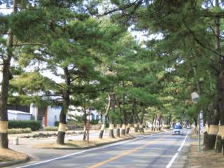 東海道松並樹