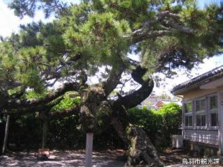 昇龍的松樹