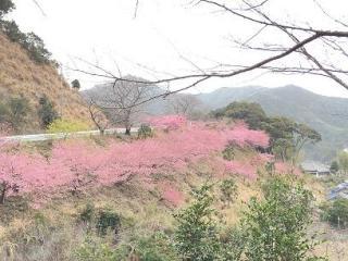 河村瑞賢公園の河津桜